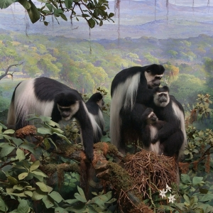 The black-and-white Colobus monkey in the Akeley Hall of African Mammals was the first background that Fred F. Scherer painted solo. ©AMNH/D. Finnin.