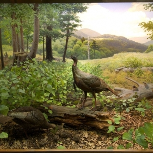 Fred F. Scherer restored the wild turkey diorama background for the 1964 renovation of the Hall Sanford Hall of North American Birds.