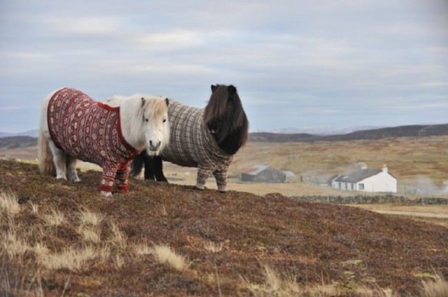 Shetland Ponies wearing jumpers made of Shetland wool created by knitter Doreen Brown, of Shetland Collection